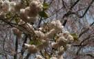Cerisiers en fleurs, Japon, Jean-Michel Race, 2010